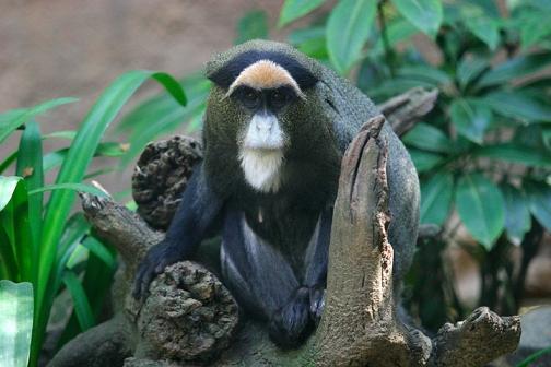 Monocercopiteco Guenon
